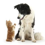 Black-And-White Border Collie Looking at Ginger Kitten Photographic Print by Mark Taylor
