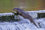 European River Otter (Lutra Lutra) Climbing to the Top of a Weir, River, Dorset, UK, November Photographic Print by Andy Rouse