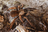 Tarantula Spider, Arenal, Alajuela Province, Costa Rica, Central America Photographic Print by Rob Francis