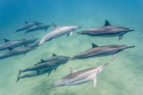 Hawaiian Spinner Dolphins (Stenella Longirostris) Photographic Print by Michael Nolan