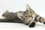 Tabby Male Kitten, Stanley, 4 Months Old, Lying and Stretching Out Photographic Print by Mark Taylor