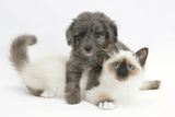 Shetland Sheepdog X Poodle Puppy, 7 Weeks, with Birman Kitten Photographic Print by Mark Taylor