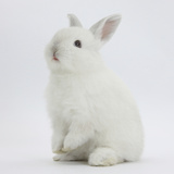 Young White Domestic Rabbit Sitting Up on its Haunches Reproduction photographique par Mark Taylor
