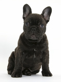Dark Brindle French Bulldog Pup, Bacchus, 9 Weeks Old, Sitting Photographic Print by Mark Taylor