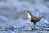Dipper (Cinclus Cinclus) Portrait, Standing in Fast Flowing River, Brecon Beacons Np, Wales, UK Photographic Print by Andy Rouse