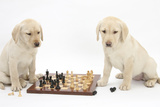 Yellow Labrador Retriever Bitch Puppies, 10 Weeks, Playing Chess Fotografisk tryk af Mark Taylor