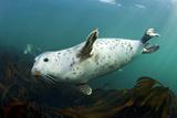 Grey Seal (Halichoerus Grypus) Swimming Amongst Kelp, Farne Islands, Northumberland, England, UK Photographic Print by Alex Mustard