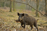 Wild Boar (Sus Scrofa) Female Moving Through Forest, Defensive of Piglets, Forest of Dean, UK Lámina fotográfica por Andy Rouse