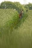 Roe Deer (Capreolus Capreolus) in a Field of Wheat (Triticum Sp) Berkshire, England, UK, June Photographic Print by Bertie Gregory