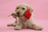 Yellow Labrador Retriever Bitch Puppy, 10 Weeks, with a Red Rose Photographic Print by Mark Taylor