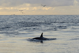 Killer Whale (Orcinus Orca) Following Shetland Pelagic Trawler, Close to Eshaness. October 2012 Photographic Print by Chris Gomersall