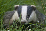Adult Badger (Meles Meles) in Long Grass, Dorset, England, UK, July Photographic Print by Bertie Gregory