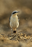 Northern Wheatear (Oenanthe Oenanthe) Male in Spring Plumage Feeding on Flies, Hertfordshire, UK Photographic Print by Chris Gomersall