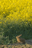 Brown Hare (Lepus Europaeus) by Oilseed Rape Crop at Rspb's Hope Farm in Cambridgeshire. April Photographic Print by Chris Gomersall