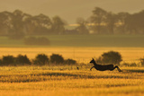 Roe Deer (Capreolus Capreolus) Doe Running in a Field of Barley, Northumberland, England, UK, June Photographic Print by Fergus Gill