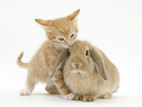 Ginger Kitten, 7 Weeks, and Young Sandy Lop Rabbit Photographic Print by Mark Taylor