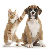 Cheeky Ginger Kitten, Ollie, 10 Weeks, Reaching Up and Batting the Ear of Boxer Puppy Lámina fotográfica por Mark Taylor