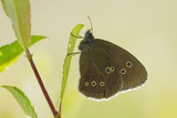 Ringlet Butterfly (Aphantopus Hyperanthus) with Wings Closed, Somerset Levels, UK, July Photographic Print by Guy Edwardes