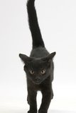 Black Male Kitten, Buxie, 12 Weeks Old, Running Forward Photographic Print by Mark Taylor