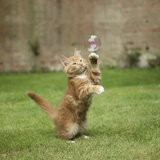 Ginger Kitten on Grass Swiping at a Soap Bubble Photographic Print by Mark Taylor