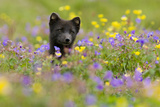 Arctic Fox (Vulpes Lagopus) in a Wild Flower Meadow, Dark Summer Phase, Hornstrandir, Iceland, July Photographic Print by O. Haarberg