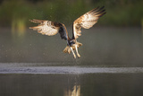 Osprey (Pandion Haliaeetus) Fishing at Dawn, Cairngorms Np, Highland, Scotland, UK, July Photographie par Peter Cairns