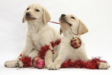 Yellow Labrador Retriever Bitch Puppies, 10 Weeks, Playing with Christmas Decorations Photographic Print by Mark Taylor