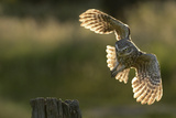 Little Owl (Athene Noctua) Taking Flight from a Post. Wales, UK, June Photographic Print by Andy Rouse