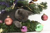 Grey Kitten Playing with Christmas Decorations under a Christmas Tree Photographic Print by Mark Taylor