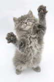Maine Coon Kitten, 8 Weeks, Standing Up, with Paws Stretched Photographic Print by Mark Taylor