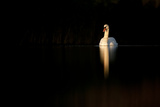 Mute Swan (Cygnus Olor) in Late Evening Light, Fife, Scotland, UK, November Photographic Print by Peter Cairns