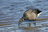 Dark-Bellied Brent Goose (Branta Bernicla) Feeding on Shore Just after High Water, Norfolk, UK Photographic Print by Chris Gomersall