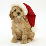 American Cockerpoo Puppy, 8 Weeks Old, Wearing a Father Christmas Hat Photographic Print by Mark Taylor