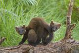 Pine Marten (Martes Martes) Two Playing on Fallen Pine Log in Woodland, Wester Ross, Scotland, UK Photographic Print by Mark Hamblin