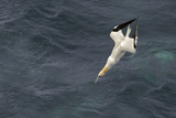 Northern Gannet (Morus Bassanus) Plunge-Diving for Fish, Shetland Isles, Scotland, UK Photographie par Chris Gomersall