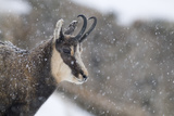 Chamois (Rupicapra Rupicapra) in Snowy Weather, Gran Paradiso National Park, Italy, October 2008 Photographic Print by E. Haarberg