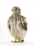 Kestrel (Falco Tinnunculus) Hand-Reared Chick Portrait Photographic Print by Mark Taylor
