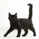 Fluffy Black Kitten, 12 Weeks Old, Walking Across Photographic Print by Mark Taylor