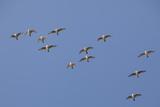 Flock of Knot (Calidris Canuta) in Flight. the Wash Estuary, Norfolk, October Reproduction photographique par Peter Cairns