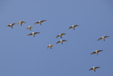 Flock of Knot (Calidris Canuta) in Flight. the Wash Estuary, Norfolk, October Photographic Print by Peter Cairns