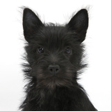 Black Terrier-Cross Puppy, Maisy, 3 Months, Portrait Photographic Print by Mark Taylor