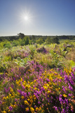 Bell Heather (Erica Cinerea) in Bloom on Lowland Heathland, Caesar's Camp, Hampshire, England, UK Photographic Print by Guy Edwardes