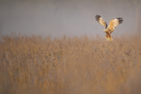 Marsh Harrier (Circus Aeruginosus) Adult Male in Flight Hunting over Reedbed at Dawn, Norfolk, UK Photographic Print by Andrew Parkinson