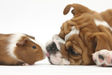 Bulldog Puppy, 11 Weeks, Face-To-Face with Guinea Pig Photographic Print by Mark Taylor