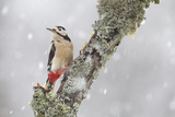 Great Spotted Woodpecker (Dendrocopus Major) in Snowfall. Cairngorms National Park, Scotland Photographic Print by Peter Cairns
