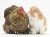 Partridge Pekin Bantam with Ginger-And-White Kitten Reproduction photographique par Mark Taylor