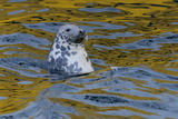 Grey Seal (Halichoerus Grypus) Scavenging Fish in Lerwick Harbour, Shetland Isles, Scotland, UK Photographic Print by Chris Gomersall