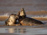 Grey Seals (Halichoerus Grypus) Fighting, Donna Nook, Lincolnshire, England, UK, October Photographic Print by Danny Green