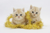 Two Ginger Kittens with Gold Christmas Tinsel Photographic Print by Mark Taylor