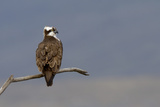 Perched Male Osprey (Pandion Haliaetus), Dyfi Estuary, Wales, UK Photographie par Andy Rouse